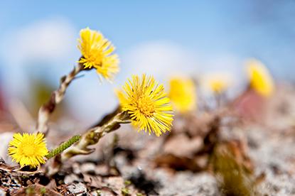 Bild på tussilago. Foto: Gert Olsson, Scandinav bildbyrå