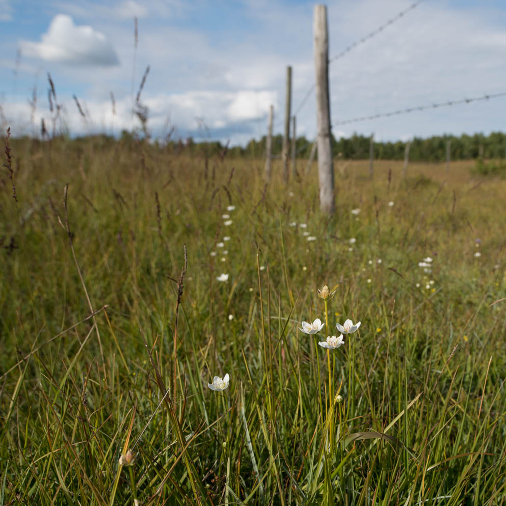 This image has an empty alt attribute; its file name is Slåtterblomma-43.jpg