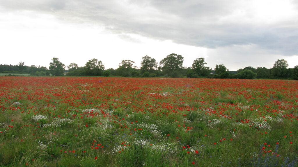 Stort fält täckt med kornvallmo